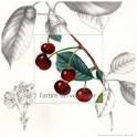 Les cerises rouges